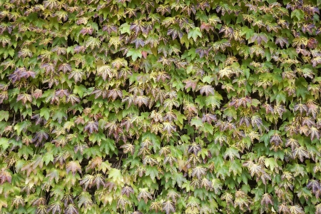 Colorful ivy in autumn Stock Photo - 16731000