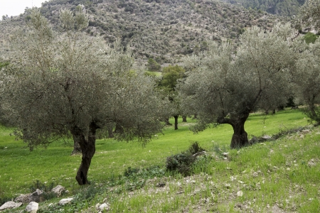 Olive trees on Mallorca photo