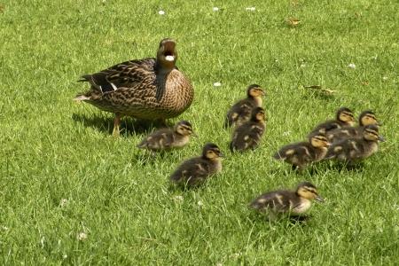 Mother duck defending her nin baby ducks photo