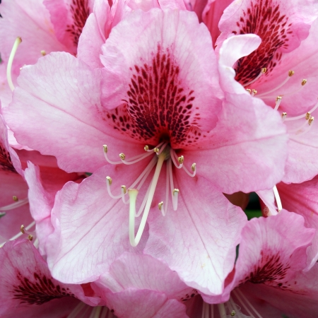 Blooming pink Rhododendron  photo
