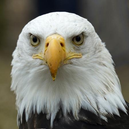 鷲の肖像画 写真素材