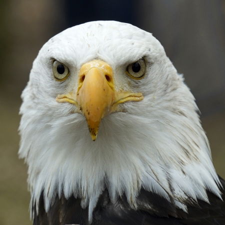 aigle: Portrait d'un aigle