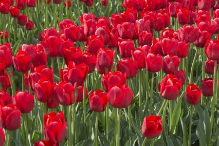 noord: Fields with red tulips in the Noord Oost Polder in the Netherlands