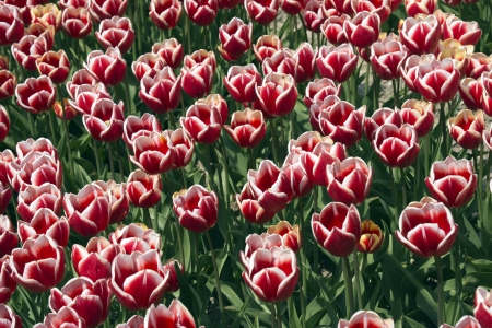 polder: Fields with bicolored red tulips in the Noord Oost Polder in the Netherlands Stock Photo