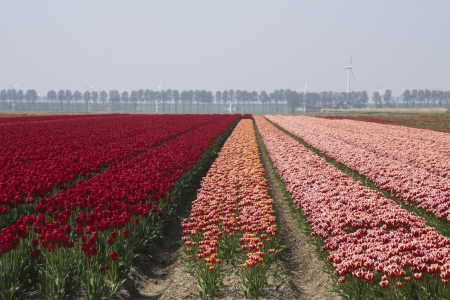 noord: Fields with red and pink tulips in the Noord Oost Polder in the Netherlands