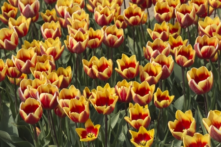 noord: Fields with bicolored yellow tulips in the Noord Oost Polder in the Netherlands Stock Photo
