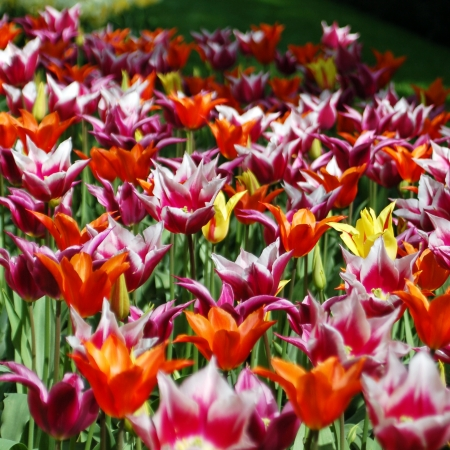 noord: Tulips in mixed colors Stock Photo