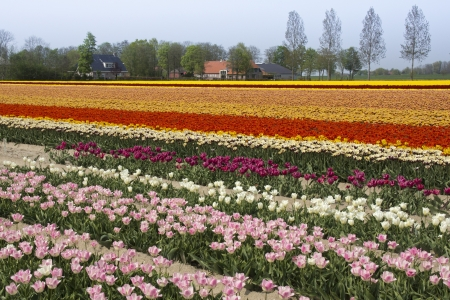 noord: Colorful fields with tulips in the Noord Oost Polder in the Netherlands Stock Photo