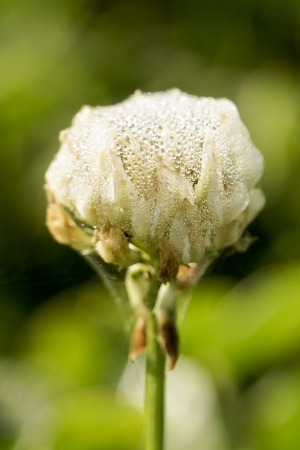Closeup of clover with dew photo