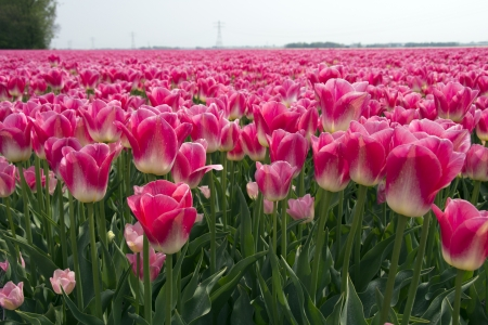 noord: Fields with pink tulips in the Noord Oost Polder in the Netherlands Stock Photo