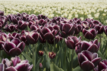 noord: Fields with purple and white tulips in the Noord Oost Polder in the Netherlands Stock Photo
