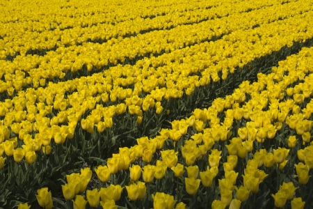 noord: Fields with yellow tulips in the Noord Oost Polder in the Netherlands