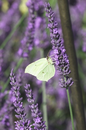 Butterfly on lavender photo