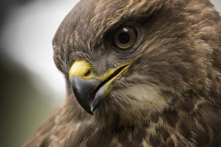 buzzard: Portrait of a buzzard