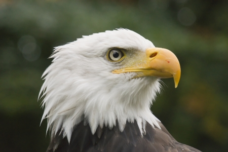 Portrait of an American eagle photo
