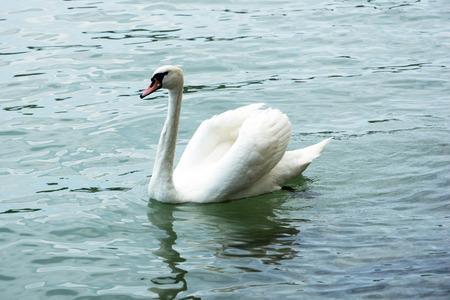swimming swan: Swan swmming in lake Ballaton, Hungary