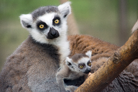 babie: Ring-tailed lemur with her cute babie