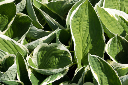 hosta: Close-up of the leaves of a hosta