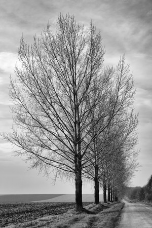 converge: Row of trees in winter in black and white