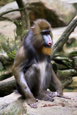 mandrill: Colorful mandrill sitting on a rock((Mandrillus sphinx).