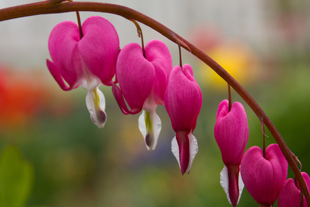 lyre: Dicentra spectabilis also known as Venuss car, bleeding heart, or lyre flower