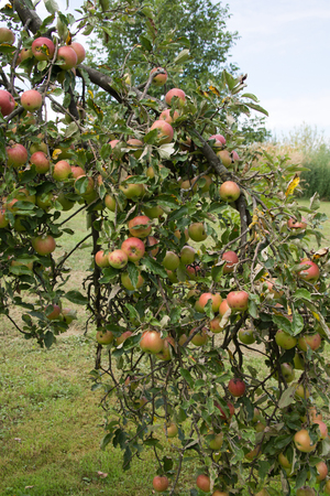 the fruitful: Tree full of riping apples