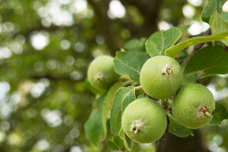 the fruitful: Apples growing on a tree