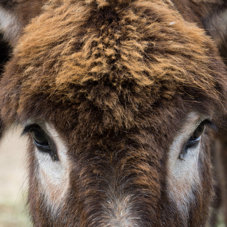 big ass: Close-up of a donkey with white around the eyes Stock Photo