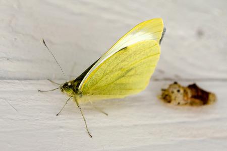 capullo: Transformación de capullo a mariposa