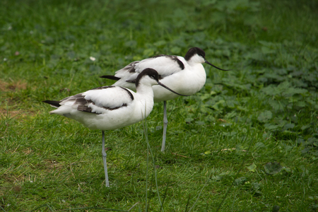 upturned: Two Pied Avocet (Recurvirostra avosetta) in the grass Stock Photo