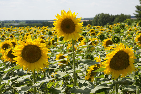 immense: Field of sunflowers in Hungary