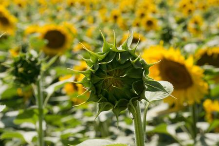 hungary: Field of sunflowers in Hungary