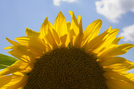 immense: Close-up of a sunflower in Hungary