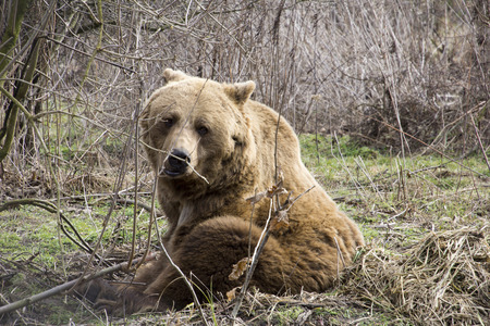lumbering: Brown bear sitting in the grass