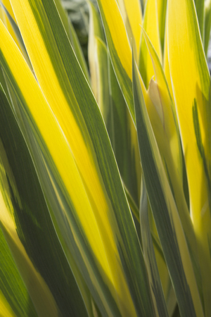 streamlined: Background of striped yellow and green leaves Stock Photo