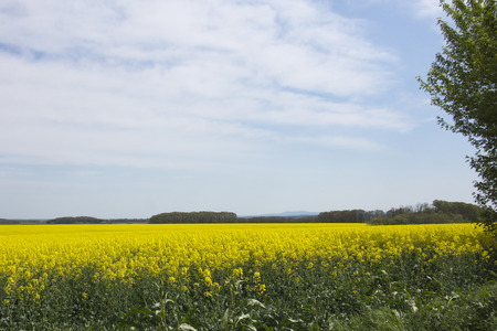 rapeseed: View of a beautiful field of bright yellow canola or rapeseed in Hungary