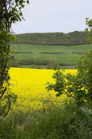 rapeseed: View of a beautiful field of bright yellow canola or rapeseed in the hills of Hungary Stock Photo