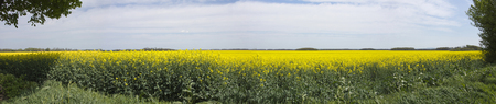 rapeseed: Panorama view of a beautiful field of bright yellow canola or rapeseed in Hungary