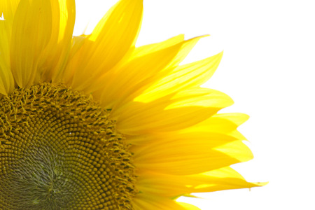 immense: Close up of a sunflower