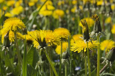 Field of yellow dandelion flowers