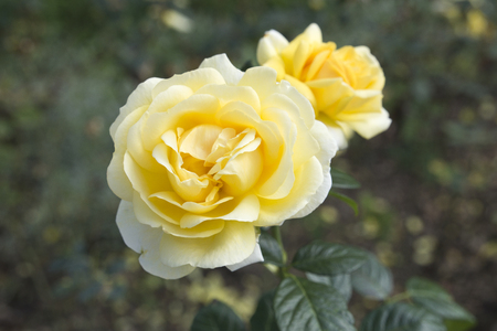 Close up of two beautiful yellow roses in the natural setting of a garden. Stock Photo
