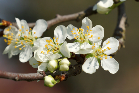 Close up of a branch with cherry blossom and buds