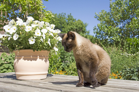 Siamese cat on garden table with plant in pot Stock Photo