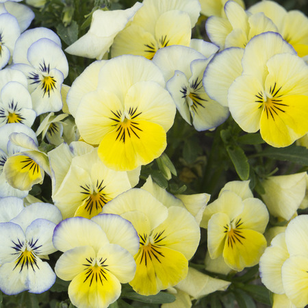 Background of yellow  pansies in the garden Stock Photo