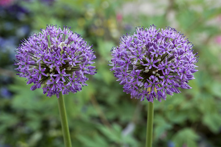 Blooming allium hollandicum in a garden with a green background 스톡 콘텐츠