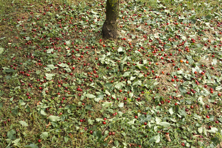 Hail made the cherries fall on the ground before they where ripe