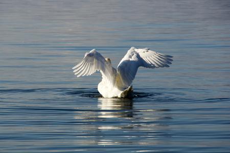 White swan spreading its wings in Lake Balaton Standard-Bild