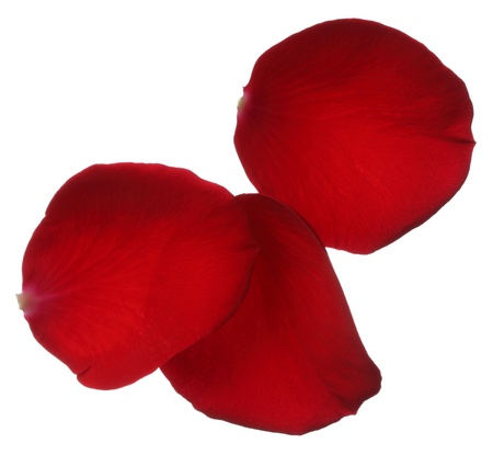 Three red rose petals isolated on white background photo