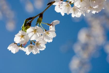 trees photography: Spring cherry blossom against blue sky, close-up