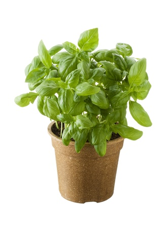 basil leaves: Basil in a pot isolated on white background